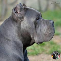 Sale cane corso - Buy Cane Corso
