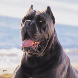 Bis Ch uracan italian mastiff barcelona españa