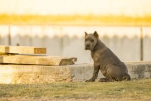 caracter del cane corso