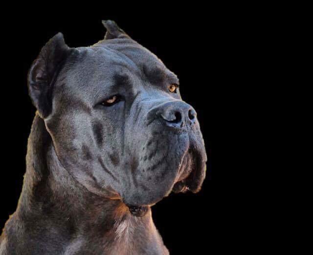 cane corso gris blue