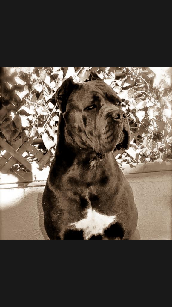 why canecorso italian mastiff