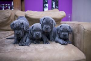 italian mastiff puppie2