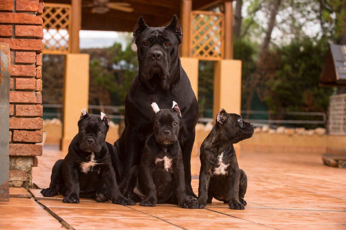 italian mastiff puppie9