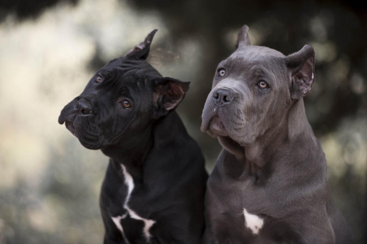 Cane corso cachorro barcelona