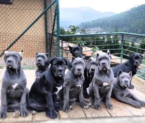 italian mastiff puppie1