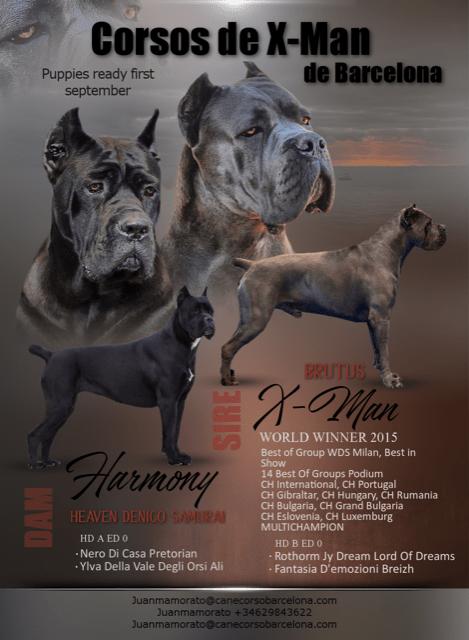 cane-corso-xman-puppies