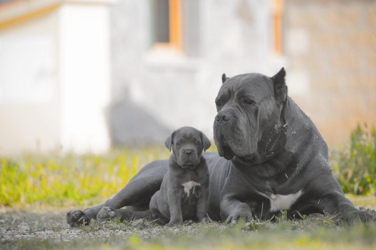 фото собак кане корсо серого цвета красоты начинают
