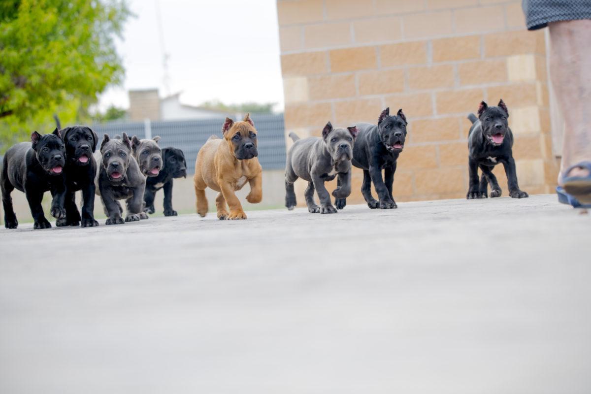 Cachorros de cane corso