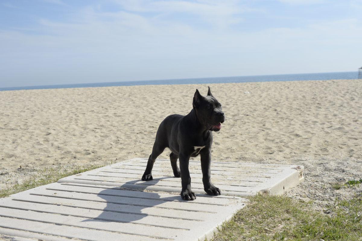 cachorro cane corso