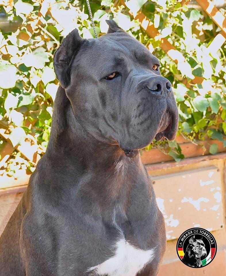 comprar cahorro de cane corso juanma morato x-man