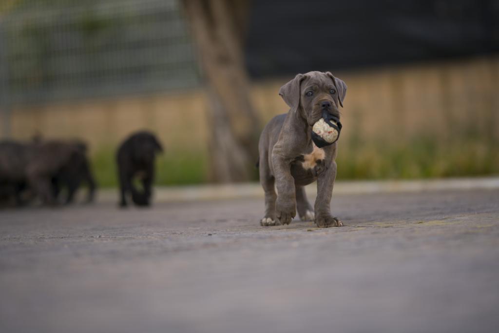 comprar cahorro de cane corso juanma morato 2