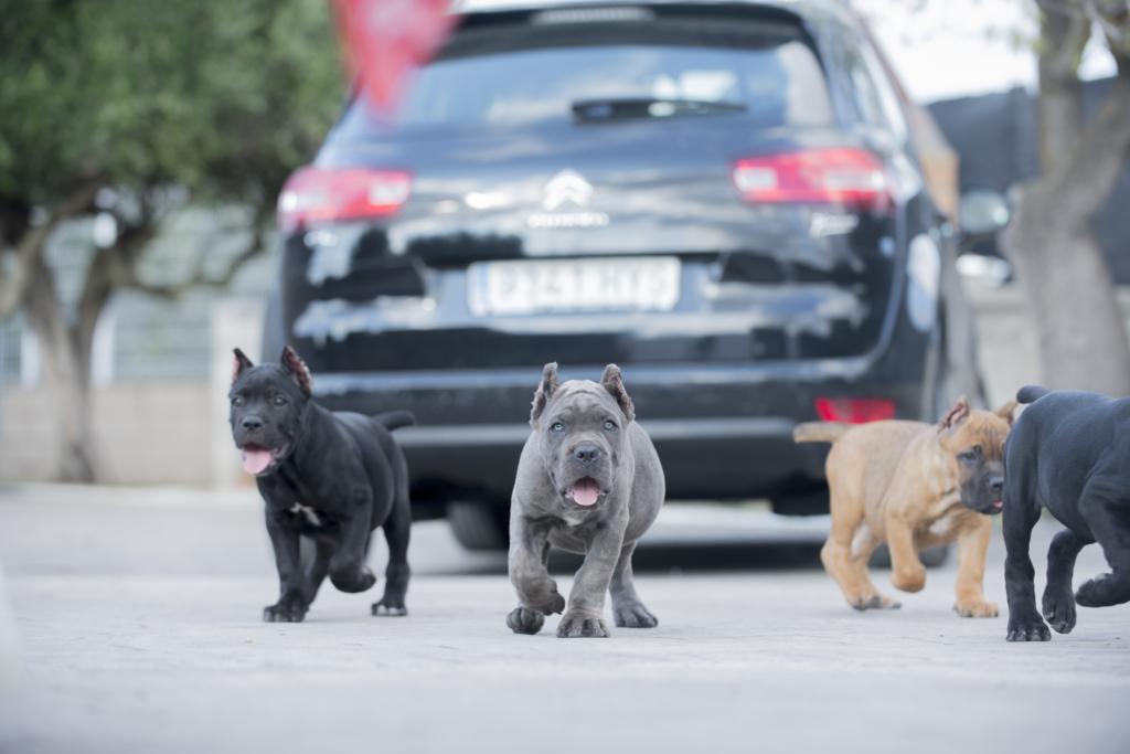 cane corso en venta españa 3