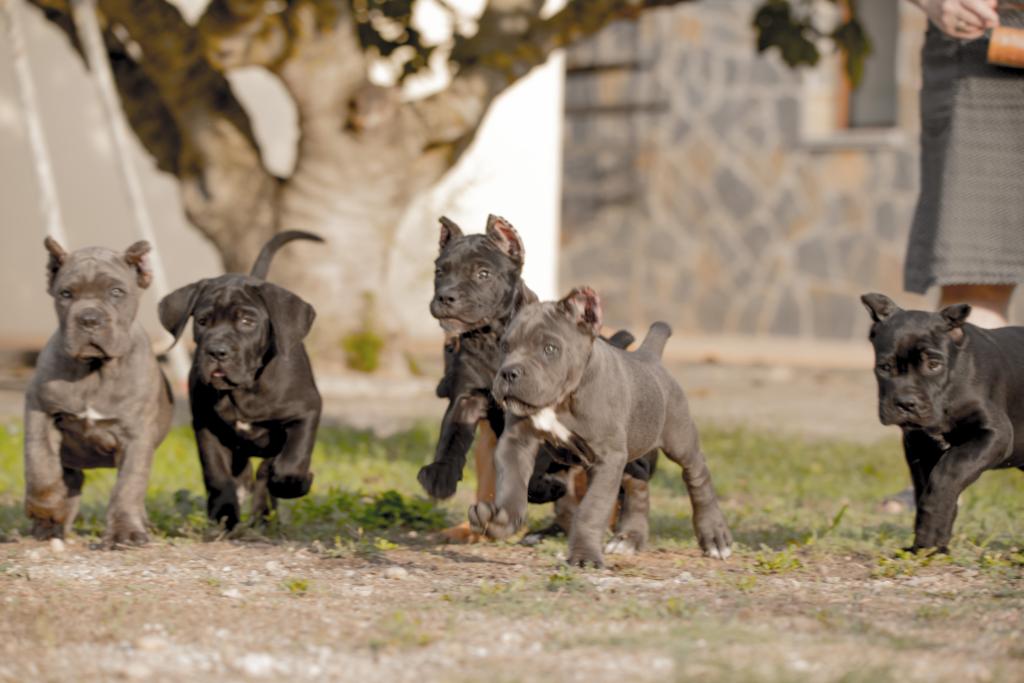 puppies for sale corsos de x-man