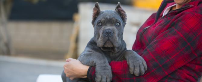 comprar machos cane corso en venta