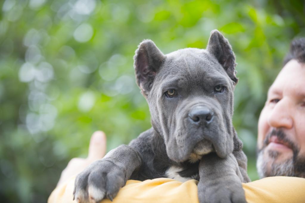for sale cane corso juanma morato