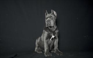 cane corso puppies for sale juanma morato