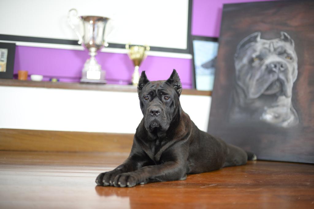 El cane corso juanma morato 1