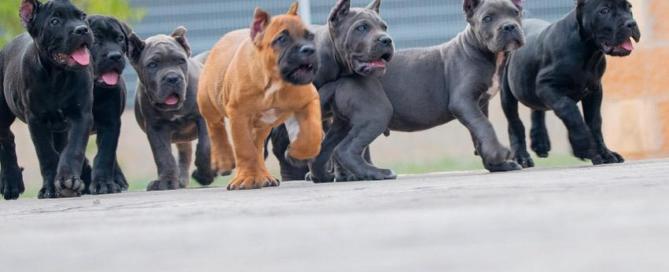 cane corso colores juanma morato2311