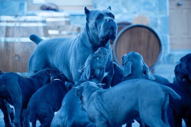 cane corso juanma morato el grupo 1.3