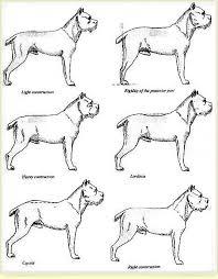 historia del cane corso juanma morato 1