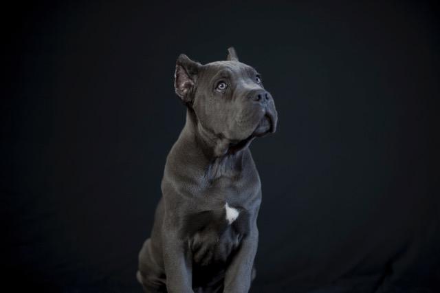 buy Cane corso puppies in Vancouver