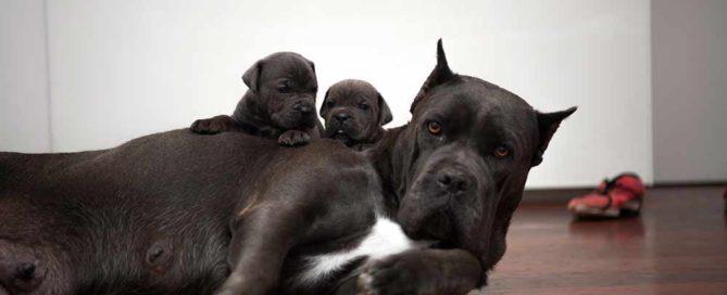 como son los primeros minutos de vida de un cane corso ?6