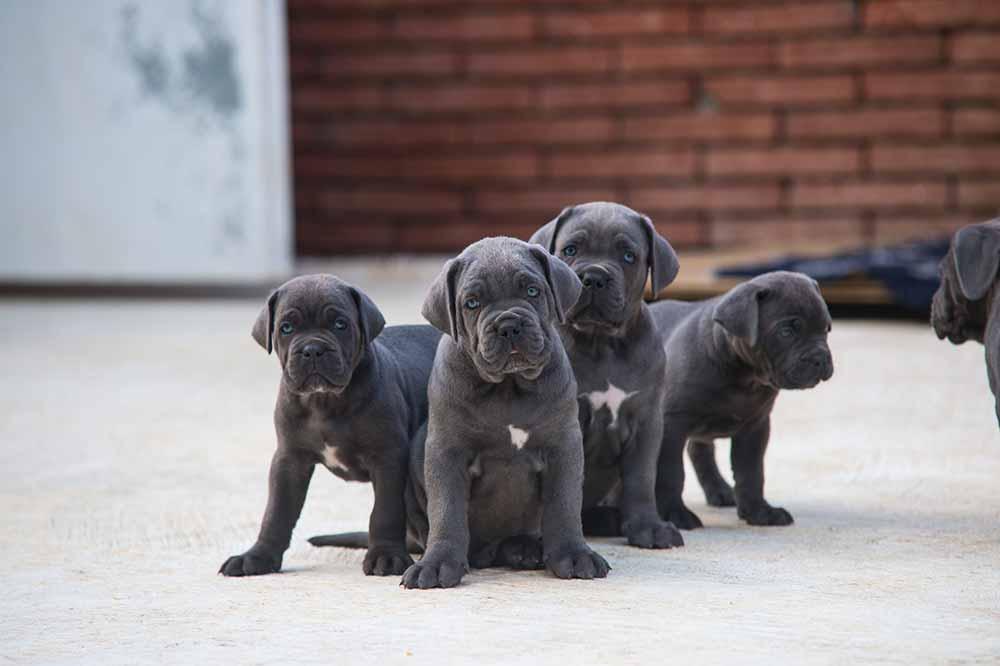 Criadores de cachorros de Cane Corso