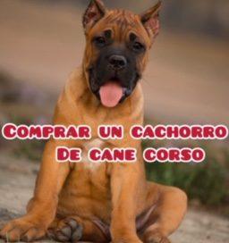 COMPRAR UN CACHORRO DE CANE CORSO
