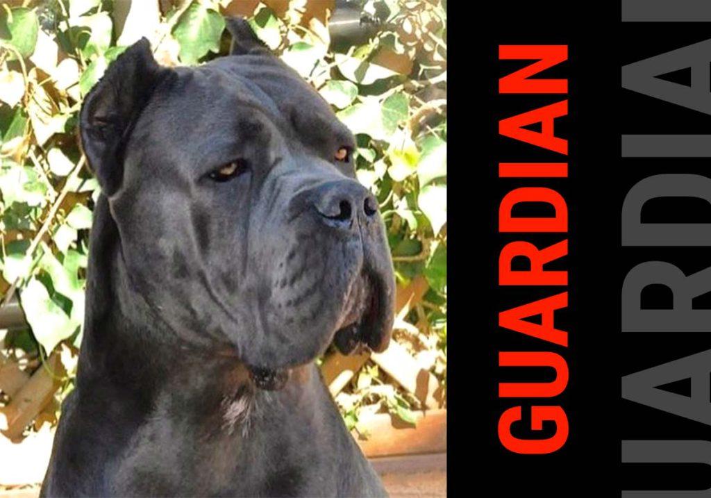carácter del cane corso - guardián