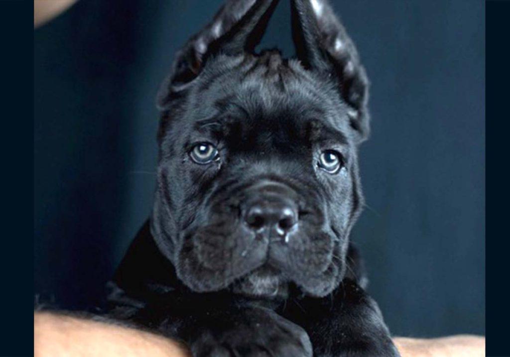comprar-cachorro-cane-corso-vancouver