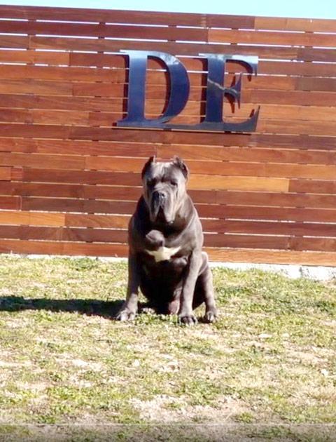 criadores cane corso barcelona españa