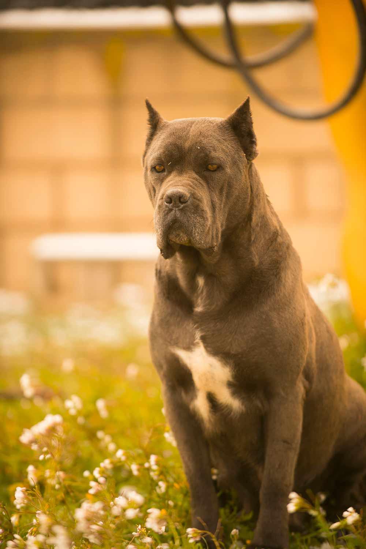 Dog Breed Cane Corso Cane Corso Barcelona