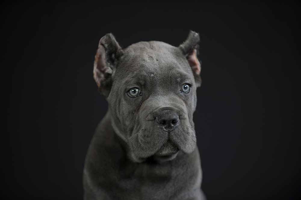 perro raza cane corso cachorros