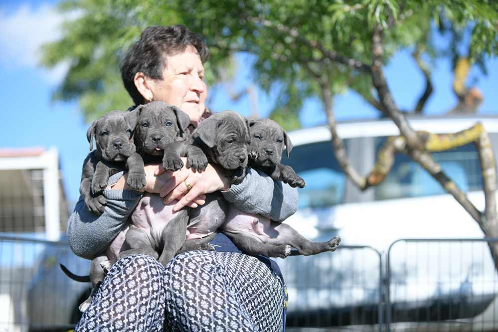 comprar cachorro raza Cane corso