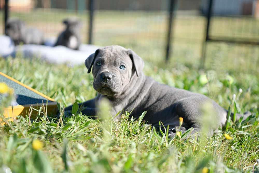 comprar cachorro raza Cane corso1