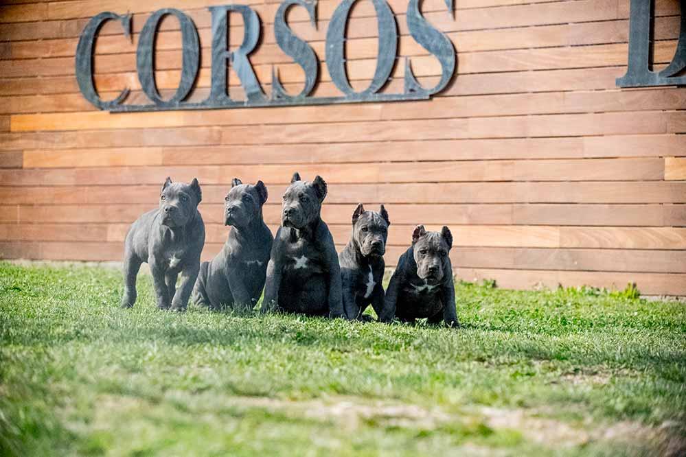 Instalaciones para criar Perros Cane Corso : Mastín Italiano