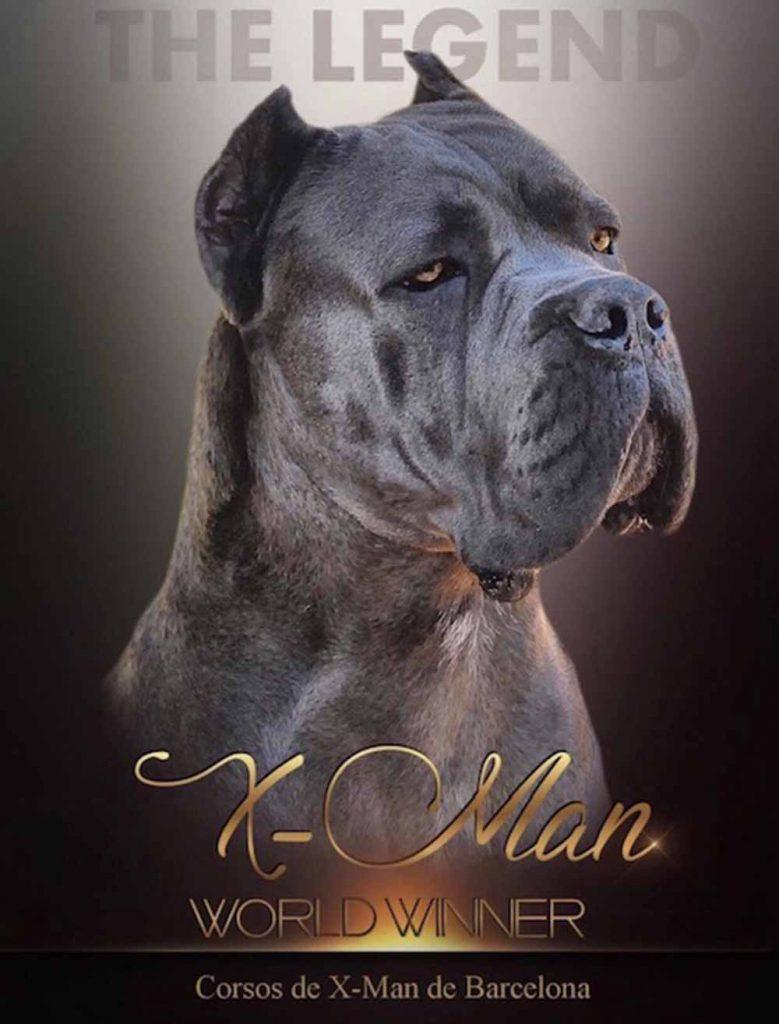Nueva camada los mejores cachorros de cane corso X-man