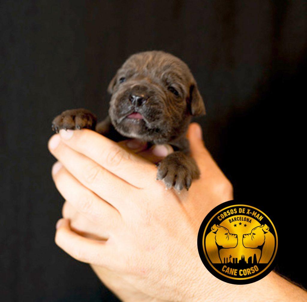 breed-criadores-cane-corso-desiree-1
