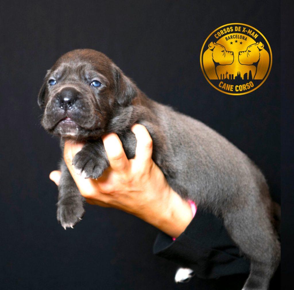 cachorro-cane-corso-en-venta-1