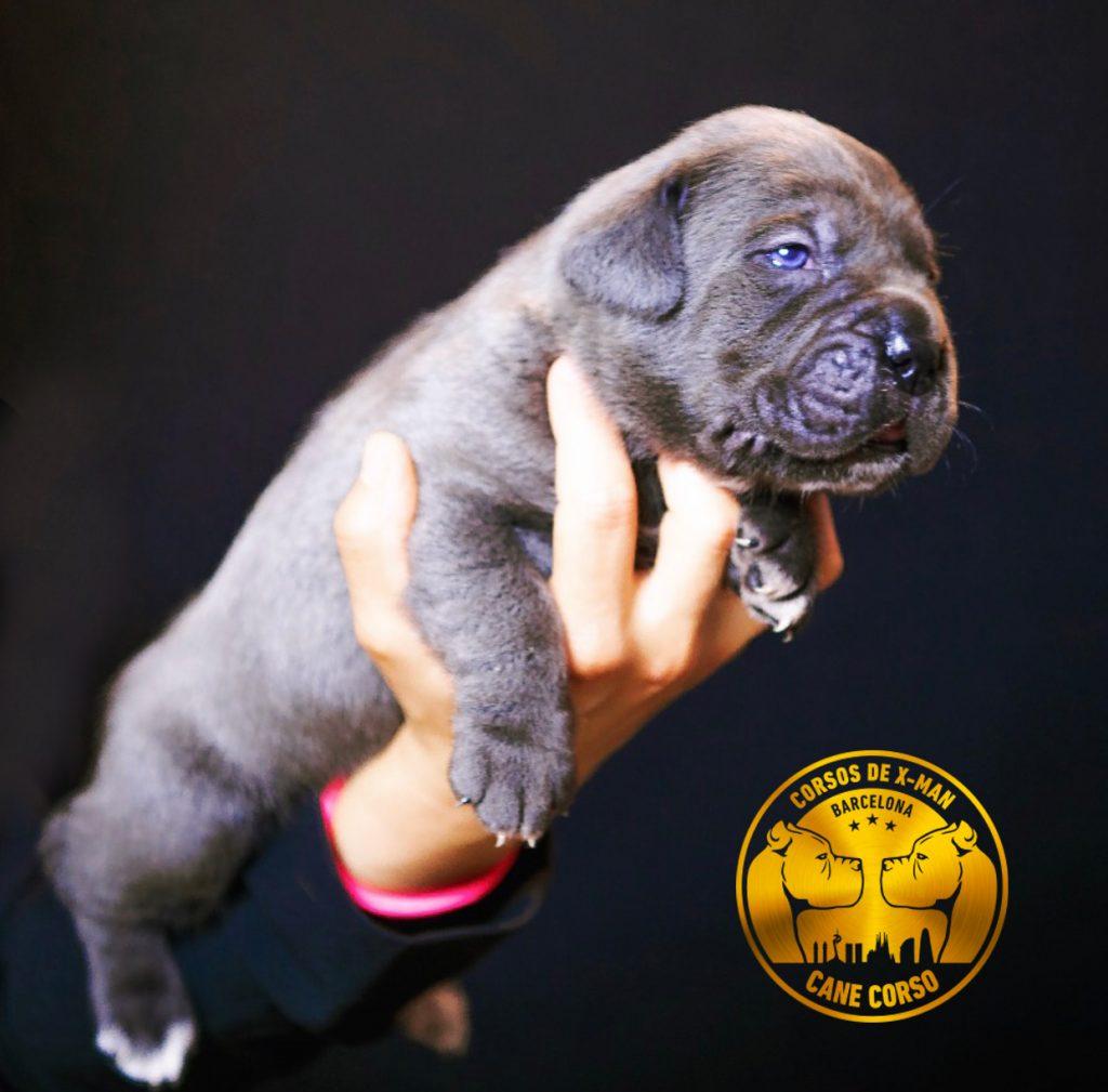 cachorro-cane-corso-en-venta-2