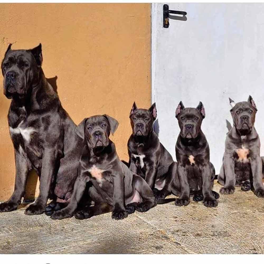 Buy Dogs Cane corso and puppies for sale Philadelphia-Pennsylvania USA1
