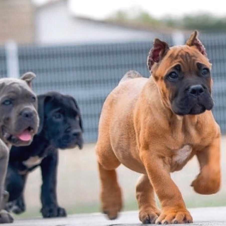 Cane Corso Puppies Goldenacresdogs Com