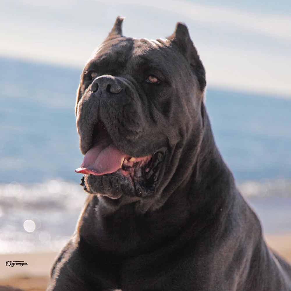 BUY DOG CANE CORSO GLASGOW-SCOTLAND AND SALE OF PUPPIES OF CANE CORSO GLASGOW-SCOTLAND1