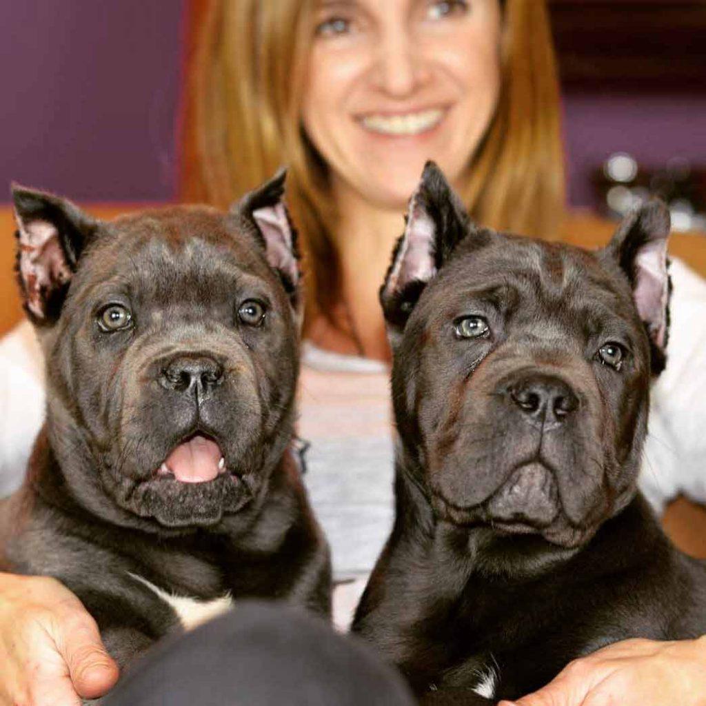 BUY DOG CANE CORSO GLASGOW-SCOTLAND AND SALE OF PUPPIES OF CANE CORSO GLASGOW-SCOTLAND2