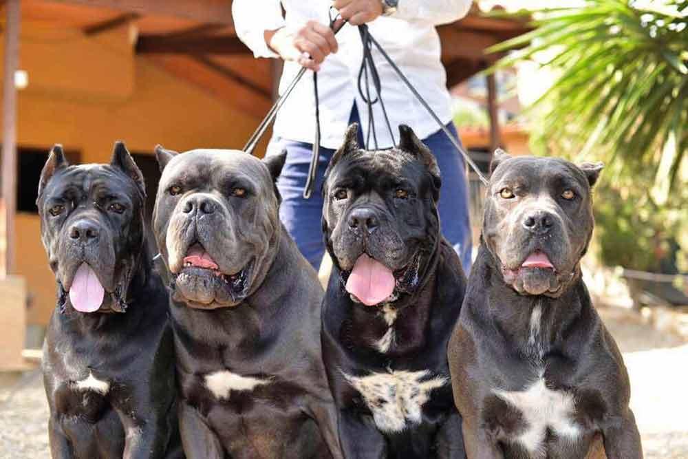 Buy dog Cane corso in San Francisco - California and cane corso puppies for sale in San Francisco - California.02