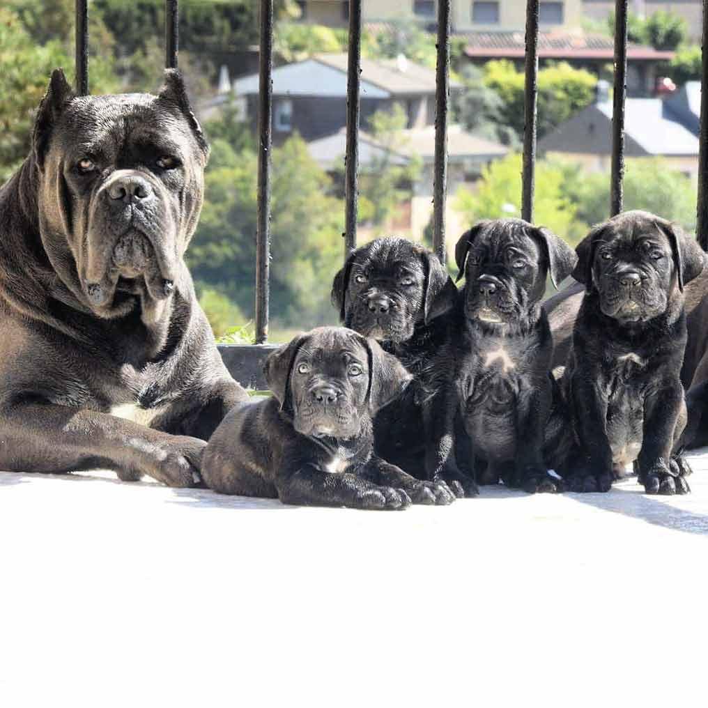 Buy dog Cane corso in San Francisco - California and cane corso puppies for sale in San Francisco - California.04