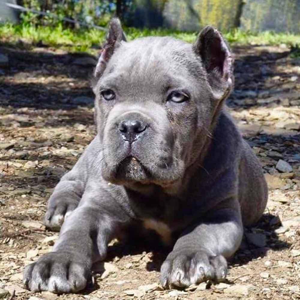 Buy dog cane corso in Las Vegas - California and italian mastiff puppies for sale in Las Vegas - California 2