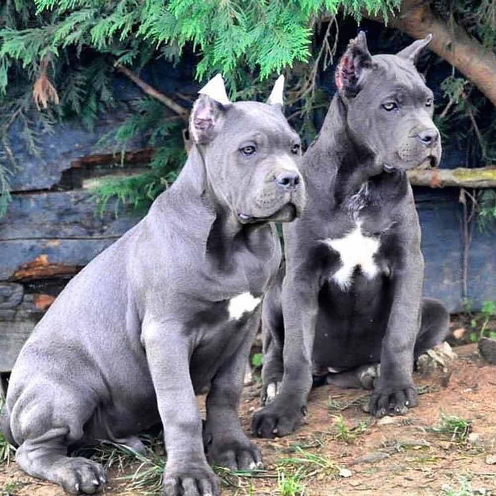 Buy dog cane corso in Las Vegas - California and italian mastiff puppies for sale in Las Vegas - California 5