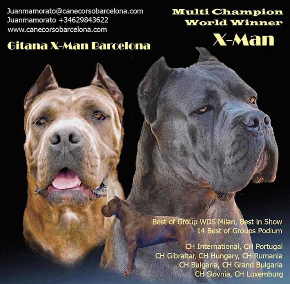 Buy dog cane corso in Las Vegas - California and italian mastiff puppies for sale in Las Vegas - California1