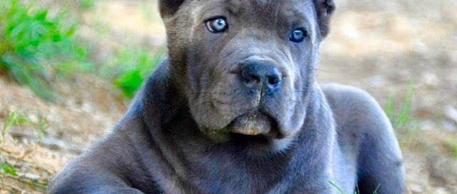 Buy dog cane corso in Washington D.C USA and cane corso puppies for sale in Washington D.C USA1